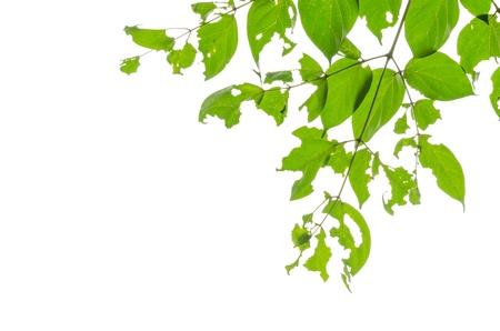eaten: green leaves eaten by bugs on white background