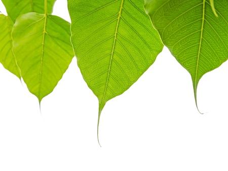 hindues: Bodhi o de Peepal hojas sobre fondo blanco, �rbol sagrado para los hind�es y budistas