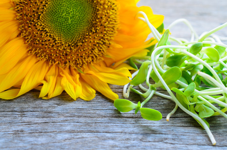 sprout: green young sunflower sprouts on wooden table