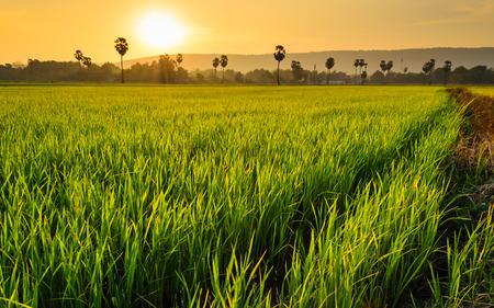 rice filed and sugar palm tree at sunset photo