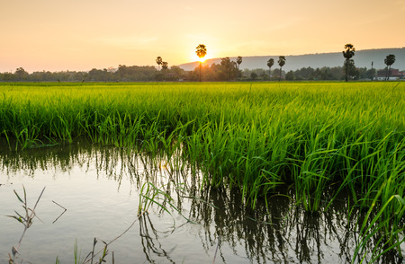 spring landscape: rice filed and sugar palm tree at sunset