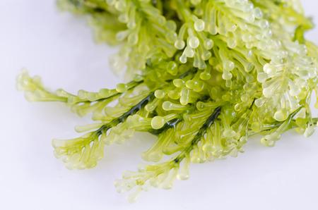 Macro closeup of green marine algae isolated on white