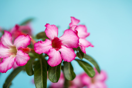 Floral background. Close up of Tropical flower Pink Adenium. Desert rose on turquoise background.