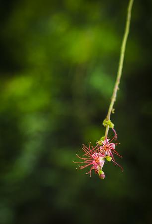 barringtonia: Beautiful Freshwater Mangrove Flower , Indian Oak (Barringtonia acutangula ) Stock Photo