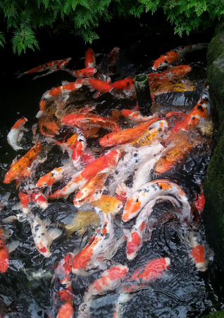 feeding frenzy: Koi feeding frenzy Stock Photo