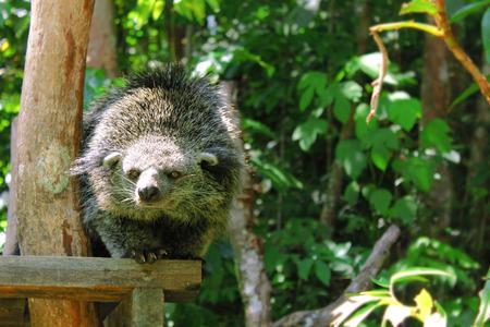 bearcat: A Sabah native Binturong bearcat