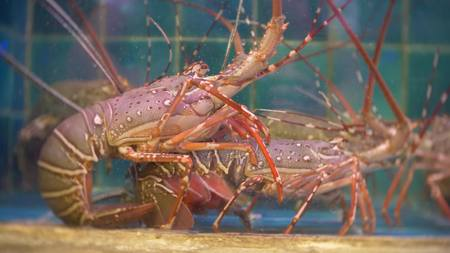 Closeup view of alive sea inhabitants in special containers with water. fish market. Lobsters in the restaurant aquarium tank for sale to diners