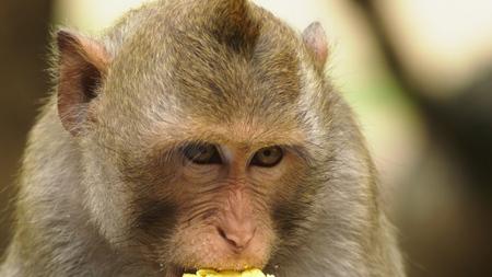 close-up. little monkey eating corn cob, asian lifestyle