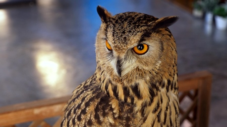 Horned owl close up. eagle owl as a pet