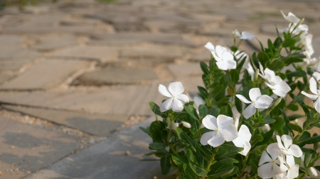 white flowers of balsam on the background of old wooden paving stones 스톡 콘텐츠