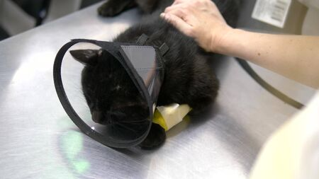 black sad cat in a cone on a table at a veterinary clinic