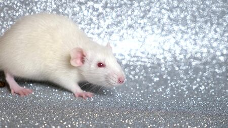 white rat on a silver background. close-up. symbol of 2020. copy space.