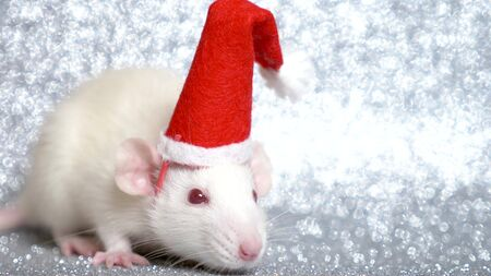 white rat in santa christmas cap on silver background. close-up. symbol of 2020. copy space. Фото со стока