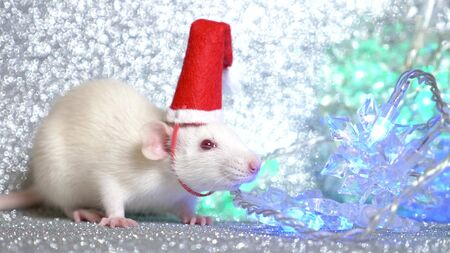 a white rat in Santas Christmas cap on a silver background, next to a multi-colored flashing garland in the form of snowflakes. close-up. symbol of 2020. copy space.