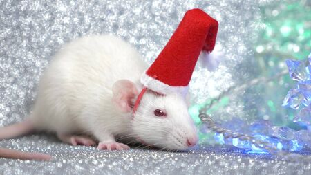 a white rat in Santa's Christmas cap on a silver background, next to a multi-colored flashing garland in the form of snowflakes. close-up. symbol of 2020. copy space.