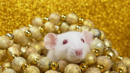 a white rat on a gold background peeps out of a nest of golden balls. close-up. symbol of 2020. copy space. symbol of wealth and abundance.
