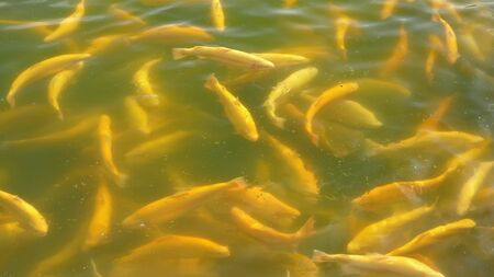 fish farm concept. close-up. many golden trout splashing in the water while feeding. Stock fotó