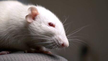 closeup portrait of a white albino rat in the apartment