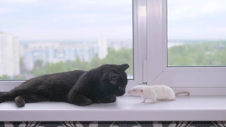black cat and white mouse together on the windowsill
