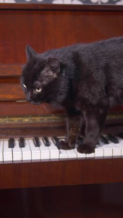 the cat is playing the piano. closeup. paws of a cat walk on the piano keys Zdjęcie Seryjne - 147466709
