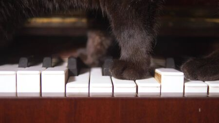 the cat is playing the piano. closeup. paws of a cat walk on the piano keys
