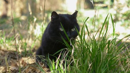 black cat sitting in the grass among the trees. closeup Zdjęcie Seryjne