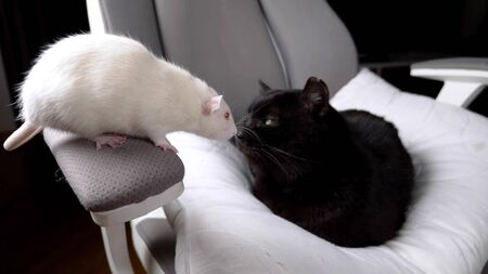 black cat and white rat together on one chair in the house. Zdjęcie Seryjne