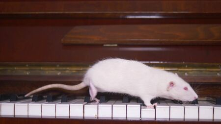 white rat plays the piano. white mouse running on the piano keyboard