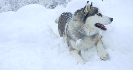 gray husky dog with multi-colored eyes in a snowdrift