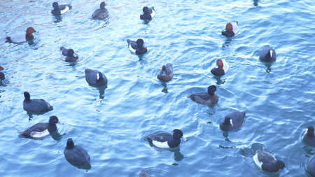 flock of wild ducks and seagulls on the seashore in the daytime Фото со стока