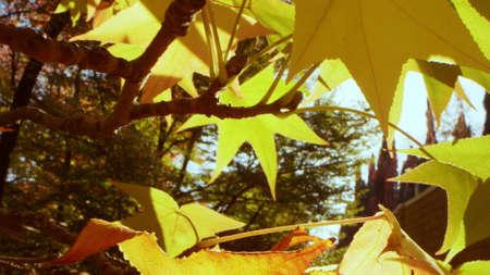 Beautiful autumn background. extreme close-up. yellow maple leaves. sun glare