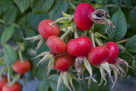 Fruits of rosehip in nature