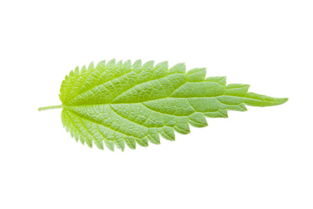 Fresh leaf of nettle on the white background