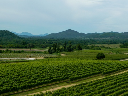 Beautiful Vineyard Landscape in Thailand  photo
