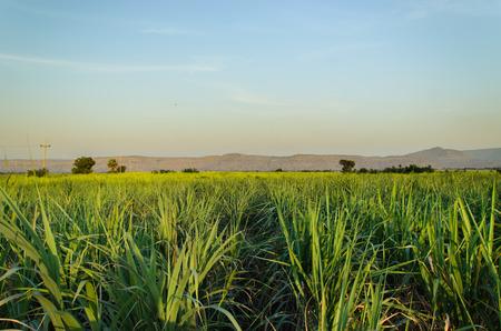 sugarcane row in farm landscape