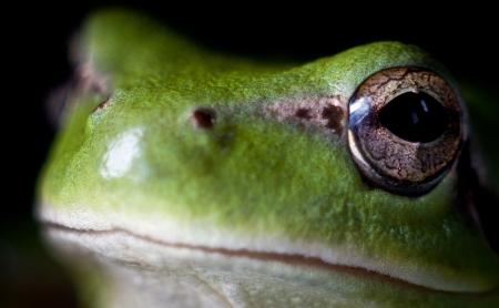 hyla: Hyla meridionalis  Mediterranean tree frog  face Stock Photo