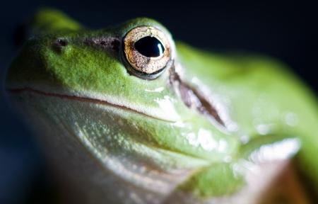 hyla: Hyla meridionalis  Mediterranean tree frog