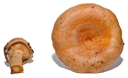 lactarius: Lactarius sanguifluus, frontal and back studio photo
