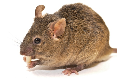 house mouse  Mus musculus  photo