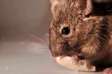 musculus: house mouse  Mus musculus