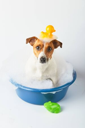 dog bathes in a basin with foam and toy ducks on a white background. Funny dog Reklamní fotografie