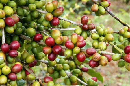 Cultivation of coffee grains Stock Photo