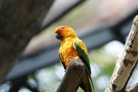The Sun Parakeet or Sun Conure  Aratinga solstitialis  is a medium-sized brightly colored parrot native to northeastern South America