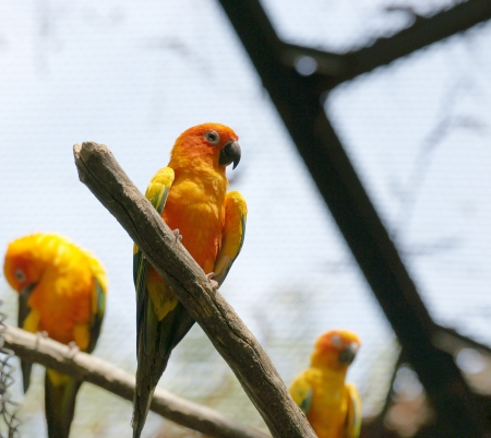 The Sun Parakeet or Sun Conure  Aratinga solstitialis  is a medium-sized brightly colored parrot native to northeastern South America    photo