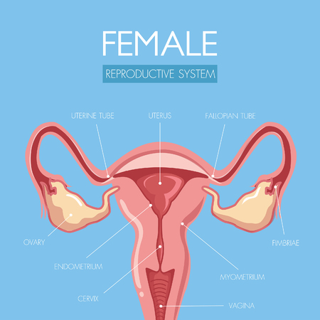 Discover and educate through this beautifully designed uterus anatomy illustration for the reproductive system of women and the name of the component.Graphic design and illustration vector.