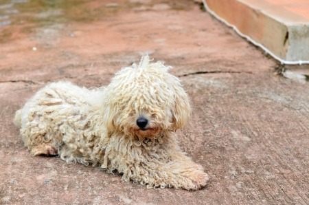 rueful: curly hair dog in crouching position