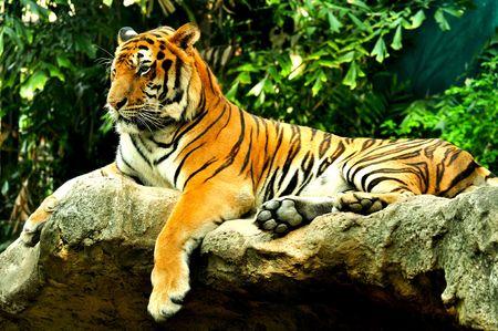 Tiger  Standard-Bild - 7197924