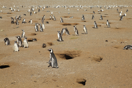 colony: Colony of penguins in Chilean Patagonia