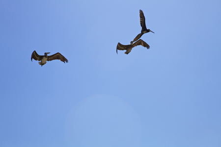 feathering: Pelicans in Chilean sky Stock Photo
