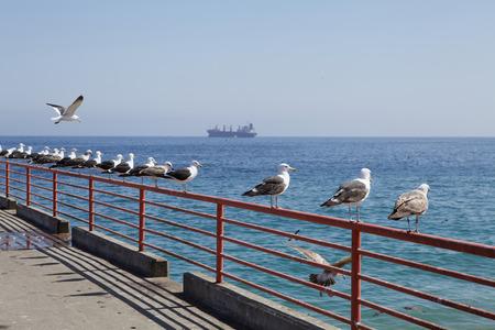 feathering: Albatrosses sitting in line in Valparaiso Stock Photo